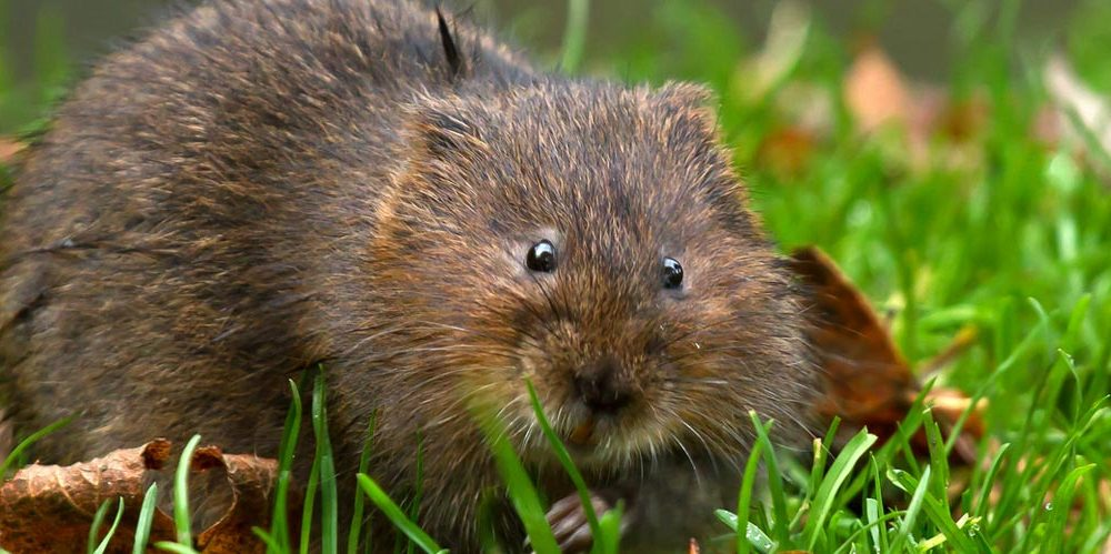 watervole-post